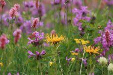 Alpine Blumenwiese (© CH)