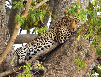 Leopard auf einem Baum bei einer Safari im Tarangire Nationalpark in Tansania