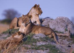 Loewen - Krueger National Park - Suedafrika