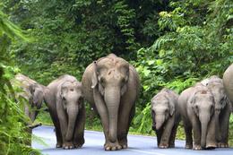 Asiatische Elefanten - Khao Lak National Park - Thailand