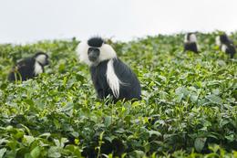 schwarz-weißer Stummelaffe - Teeplantage - Kamerun