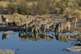Zebras am Wasserloch - Etosha National Park - Namibia