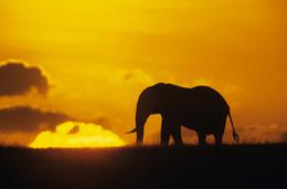 Elefant im Sonnenuntergang - Tsavo Ost - Kenia