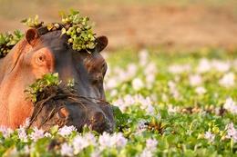 Nilpferd - Mana Pools National Park - Simbabwe