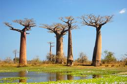 Baobabs - Westkueste - Madagaskar