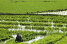 Reisbauer - Reisfeld - Myanmar - Reise