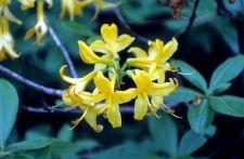 Gelber Rhododendron am Wegesrand der Suruldwanderung (© HS)
