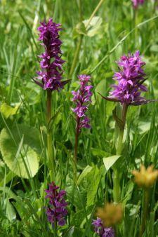 Orchideen-Wiesen bei Suruldwanderung (© BH)