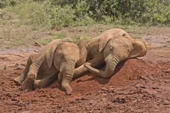 Zwei Elefantenbabys im Nairobi NP in Kenia