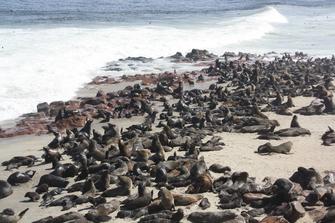 Robbenkolonie an der Küste Namibias