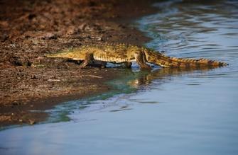 Zwei Krokodile in einer Krokodilfarm in Namibia