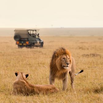 Löwen im Tsavo Ost Nationalpark in Kenia.