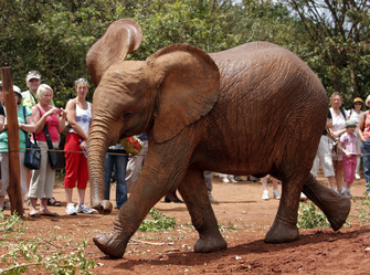 Elefant im David Sheldrick Elephant Trust in Nairobi in Kenia