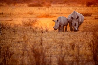 Nashörner im Masai Mara National Park in Kenia.