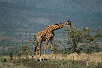Giraffe nahe des Lake Naivasha in Kenia