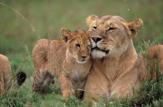 Löwen im Amboseli National Park in Kenia
