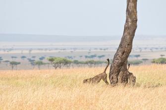 Leoparden im Tsavo West National Park in Kenia