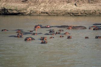 Flusspferde in Mzima Springs bei Kenia-Safari