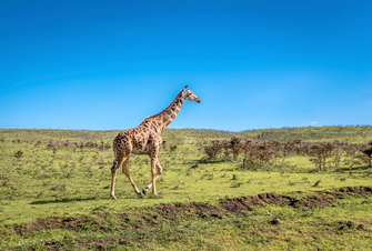 Giraffe im Massai Mara National Park in Kenia