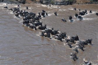 Gnu Herde überquert den Mara Fluss im Masai Mara Nationalpark in Kenia