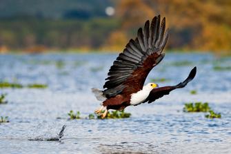 Über 400 Vogelarten am Lake Naivasha in Kenia