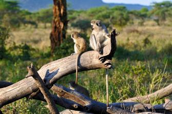 Paviane im Tsavo Ost National Park in Kenia