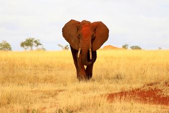 """""""Roter Elefant"""" im Tsavo Ost National Park in Kenia."""