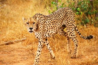 Leopard im Tsavo West National Park in Kenia.