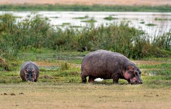 Flusspferde im Amboseli Nationalpark in Kenia