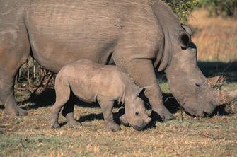 Nashörner im Massai Mara National Park in Kenia.