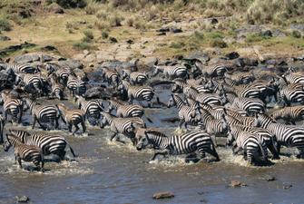 Zebra Herde überquert den Mara River im Masai Mara Nationalpark in Kenia.