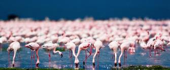 Flamingos am Lake Nakuru, dem berühmtesten See des Rift Valleys in Kenia.