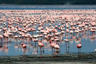 Tausende Flamingos am Lake Nakuru in Kenia.