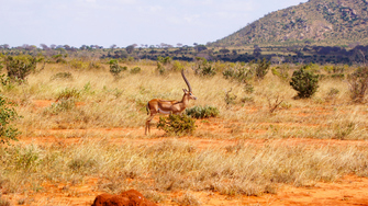 Antilope im Tsavo West National Park in Kenia