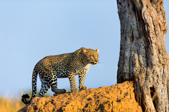 Leopard bei ​Game Drive durch den Serengeti Nationalpark in Tansania.