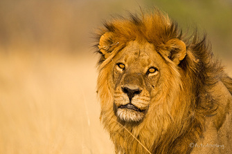 Löwe im Massai Mara National Park in Kenia.