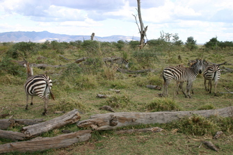 Zebras im Lake Manyara National Park in Tansania.