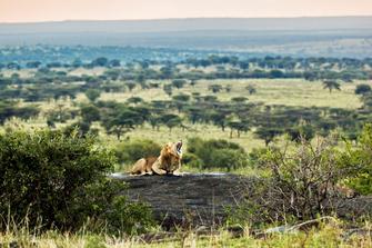 Blick auf einen Löwen und den Serengeti Nationalpark in Tansania