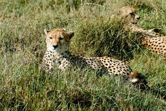 Leopard im Ngorongoro Schutzgebiet in Tansania.