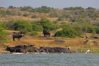 Büffel am Ufer im Queen Elizabeth Nationalpark in Uganda.