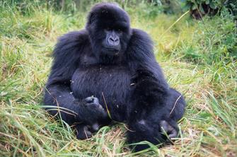 Berggorilla im Volcanoes Nationalpark in Ruanda