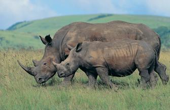 Nashörner im Ziwa Rhino Schutzgebiet im Murchison Falls Nationalpark in Uganda