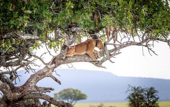 Löwe auf einem Baum in Ishasha im Queen Wlizabeth Nationalpark in Uganda