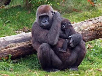 Gorilla mit Baby in Ruanda