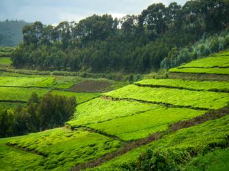 Besichtigung von Teeplantagen und einer Teefabrik in Ruanda