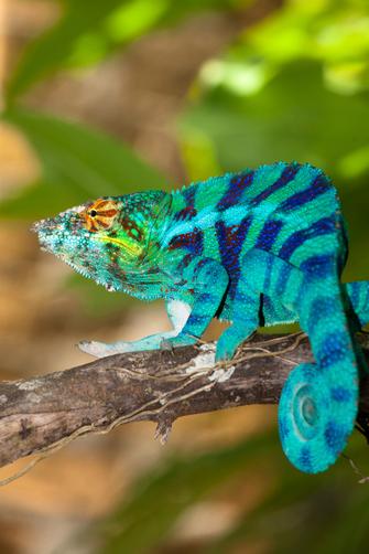 Blaues Chamäleon im Nationalpark Ankarafantsika in Madagaskar