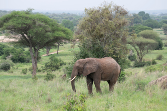 Elefant im Tarangire Nationalpark in Tansania
