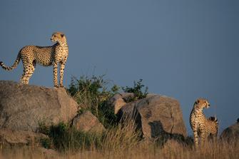 Leoparden auf Felsen im Serengeti Nationalpark in Tansania
