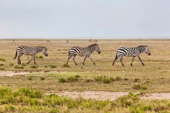 Zebras im Serengeti Nationalpark in Tansania.