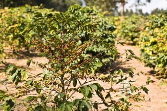 Halbtägiger Ausflug zum Dorf der Waweru mit Besuch auf einer Kaffeeplantage in Tansania.